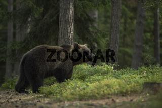 hervorragender Geruchssinn... Europäischer Braunbär *Ursus arctos*