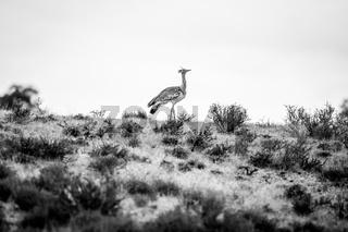 Kori bustard on a ridge in black and white.