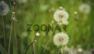 Dandelion field and tall green grass