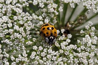 Harmonia axyridis, Asiatischer Marienkäfer auf Doldenblütler