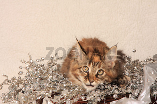 Norwegische Waldkatze, liegt in Dekoration, Norwegian forest cat, lies in decoration