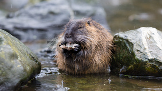 Coypu is eating