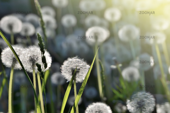 Romantic spring background with dandelions in sunlight - selective focus