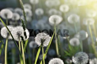 Romantischer Frühlingshintergrund mit Löwenzahn im Sonnenlicht - selektiver Fokus