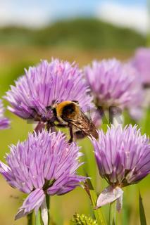 Bumblebee on a purple Flower 1