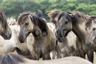 Verstehen ohne Worte,, wild lebende Pferde im Merfelder Bruch, Dülmen, Nordrhein-Westfalen, Juni,