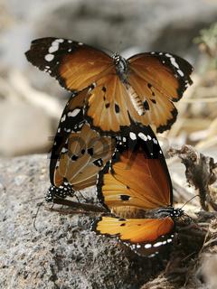 Afrikanische Monarchen in der Paarungszeit.