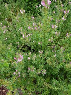 Hauhechel; Dorniger; Ononis, spinosa; Heilpflanze