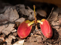 Small plant shoot in autumn leaves that grows from a split acorn