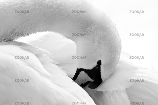Mute Swan or White Swan, Cygnus olor, Germany