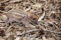 endangered small baby of Visayan warty pig