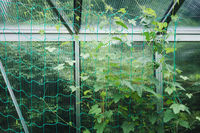 Cucumbers in a greenhouse