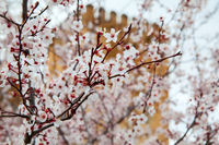 Blossoming trees near ancient walls of Alhambra