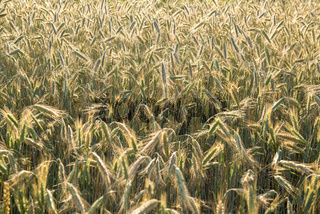 Wheat background in sunny day