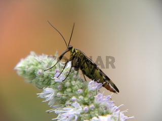Gemeine Skorpionsfliege - common scorpionfly