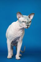 Hairless Canadian Sphynx cat standing on blue background and looking