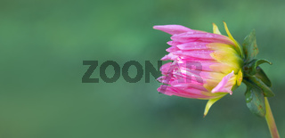 Pink dahlia isolated on green blur background.