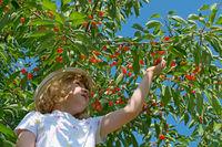 Child picks cherries from the tree