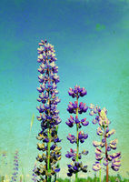 lupine flowerses on grunge background