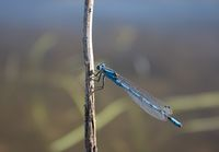 Dragonfly - Blue-tailed Damselfly