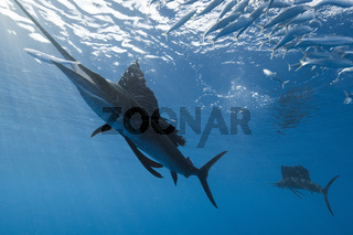 Atlantischer Faecherfisch schnappt Sardine