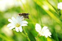 grizzled skipper on white flowerVII