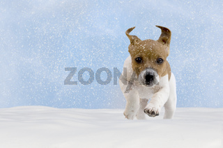 Dog, puppy, jack russel terrier playing in the snow
