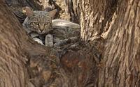 African Wildcat in resting tree