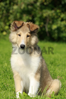 collie in der Wiese