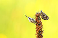 grizzled skipper and bee flies
