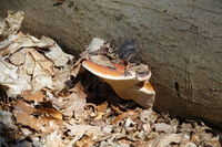 Fomes fomentarius, tinder fungus, on lime trunk