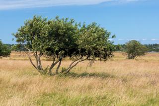 Weidelandschaft mit Weide im Katinger Watt bei Tönning