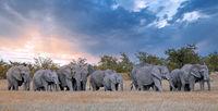 elephants, Etosha National Park, Namibia, (Loxodonta africana)
