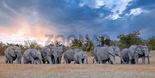 Elefantenherde, Etosha-Nationalpark, Namibia, (Loxodonta africana) | elephants, Etosha National Park, Namibia, (Loxodonta africana)