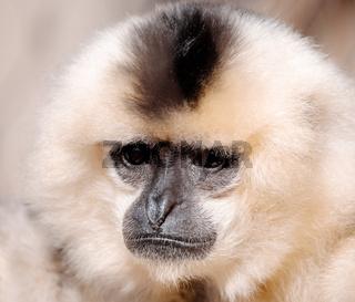 primate Yellow-cheeked gibbon, Nomascus gabriellae