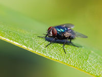 Macro of a fly on a green leaf
