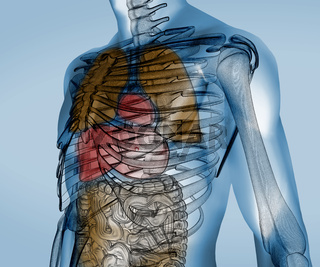 Colorful transparent digital body with organs