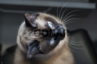 A Siamese or Thai cat with blue eyes is photographed from above.