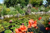 Klatschmohn (Papaver rhoeas), Mohnblume, im naturnahen Garten am Gartenteich, Gegenentwurf zum sterilen Schottergarten