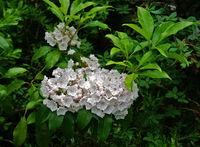 Laurel, Kalmia latifolia