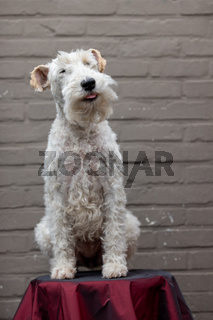 Portrait of Happy Fox Terrier Dog Looking in Camera and smiling on a red stool against a brown brick Background, front view