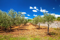 Olive trees plantage groove on red soil, production of extra virgin olive oil,