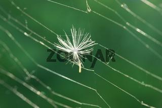 Samenschirm zwischen Spinnenfäden