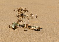 sea holly on the dune of Piscina