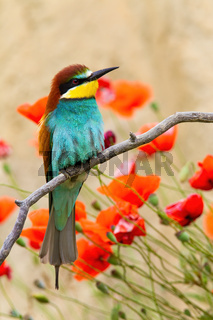 European bee-eater sitting on twig with red flowers in background