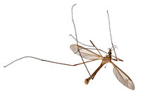 Large dead true craneflie, Tipula paludosa, lies on its back isolated on white