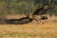 Young white-tailed eagle flying low above a meadow in autumn nature