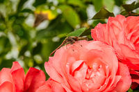 Dragonfly on a rose flower