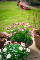 Daisy potted plants on terrace with green lawn and lawn mower in background