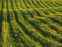 Long yellow filds of olseed rape before harvest, Moravia, Czech Republic